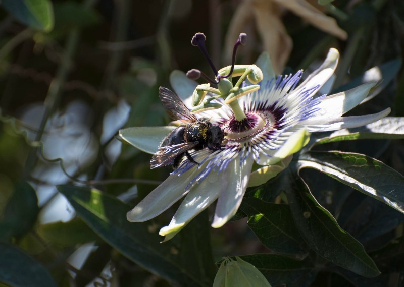 Bee_Passionflower_DSC_0154