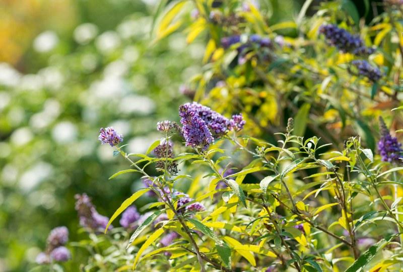 Butterfly Bush_DSC_4525