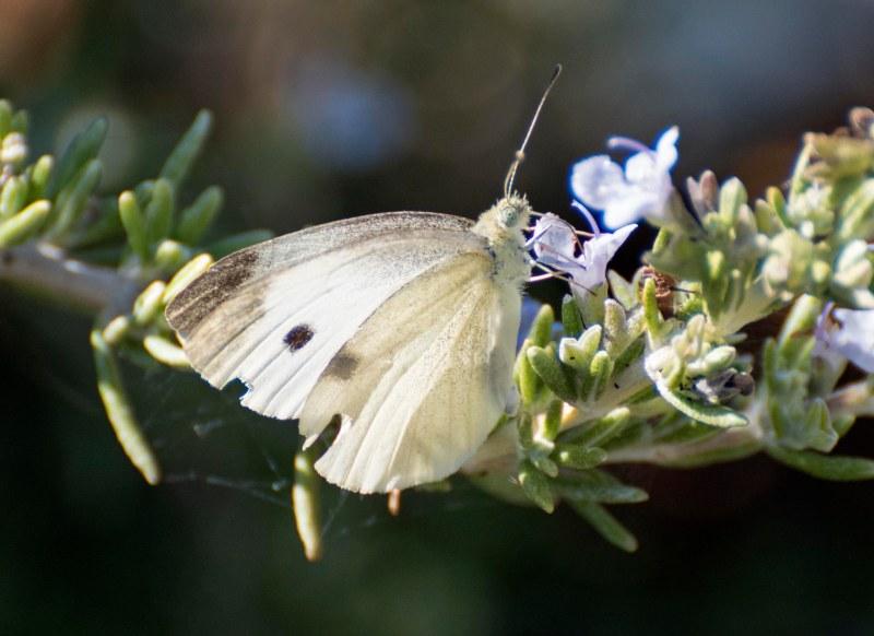 Butterfly_DSC_0089