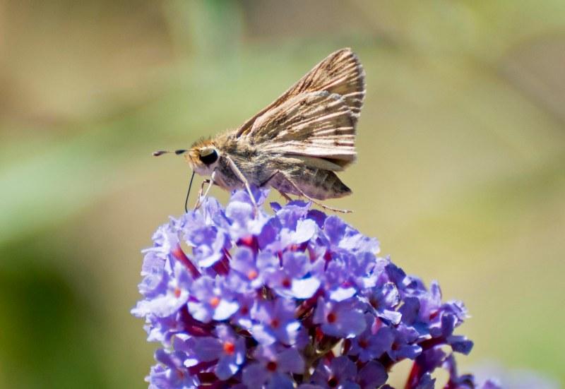 Fiery_Skipper_Butterfly_DSC_0354