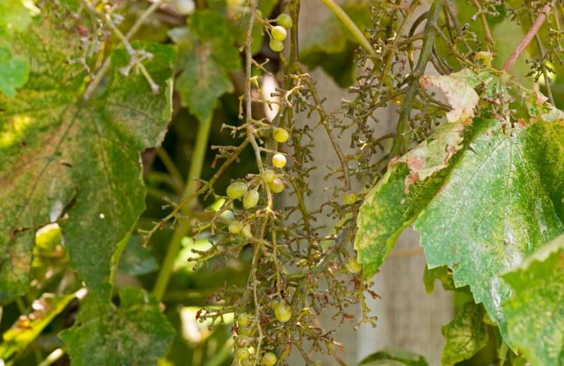 Grapes_DSC_4573