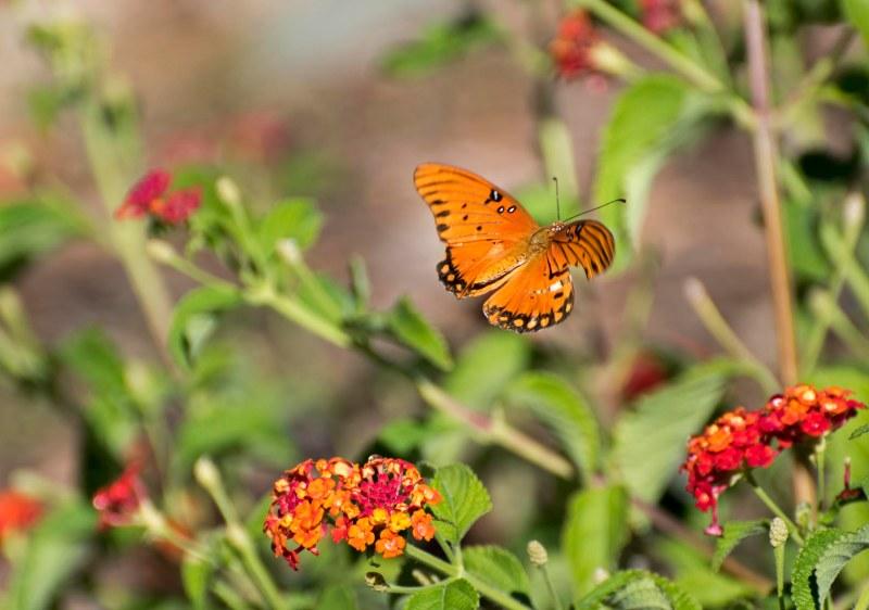 Gulf Frit_Butterfly_DSC_0061