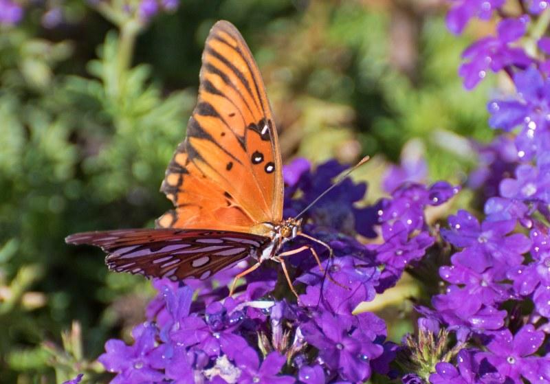 Gulf Frit_Butterfly_DSC_0082