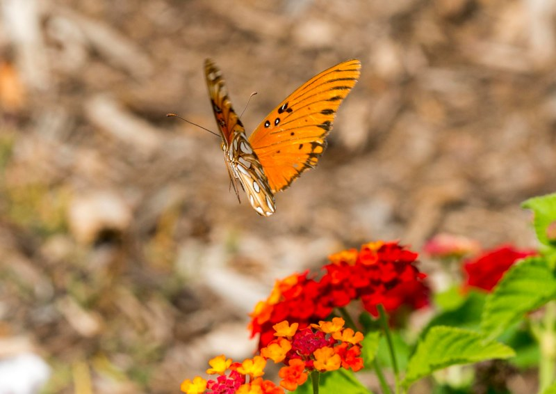 Gulf Frit_Butterfly_DSC_4569