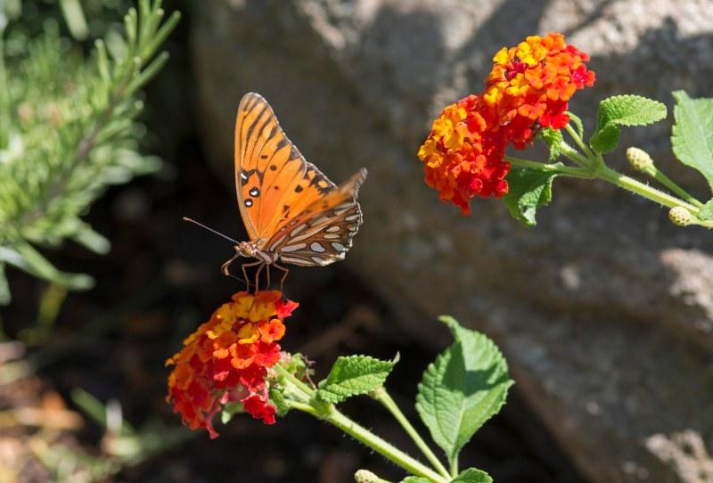 Gulf_Frit_Butterfly_DSC_4802