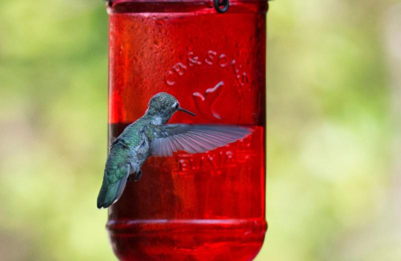 Hummingbird_DSC_4756