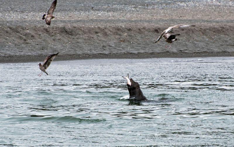Seal_Salmon_DSC_1024