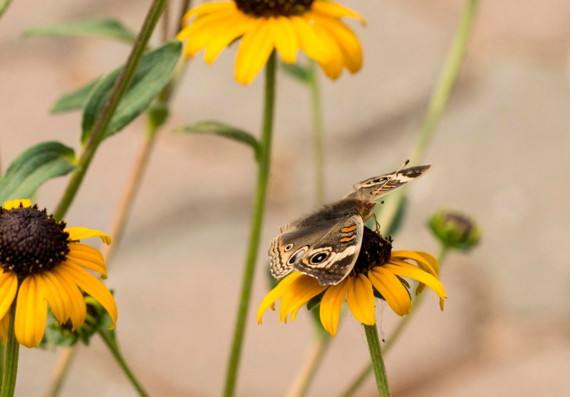 Buckeye butterfly_DSC_5899