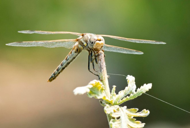 Dragonfly_DSC_4565