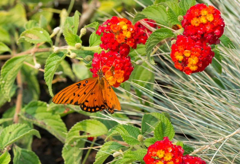 Fritillary Butterfly_DSC_5989