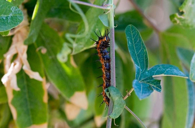 Fritillary Caterpillar_DSC_5569