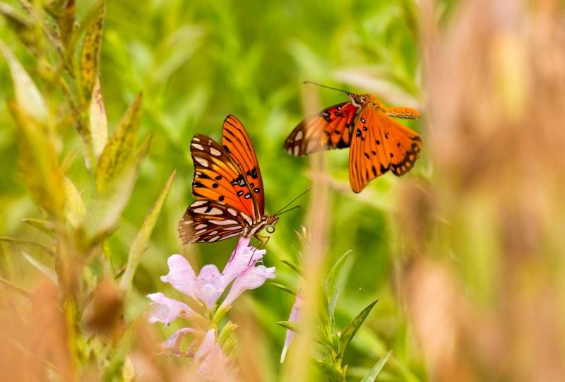 Fritillary_Butterfly_DSC_5853