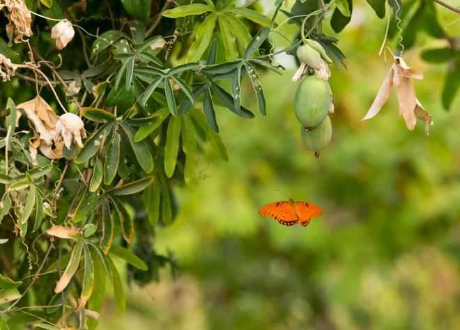 Fritillary_Butterfly_DSC_5858
