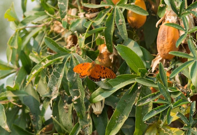 Fritillary_Butterfly_DSC_5876