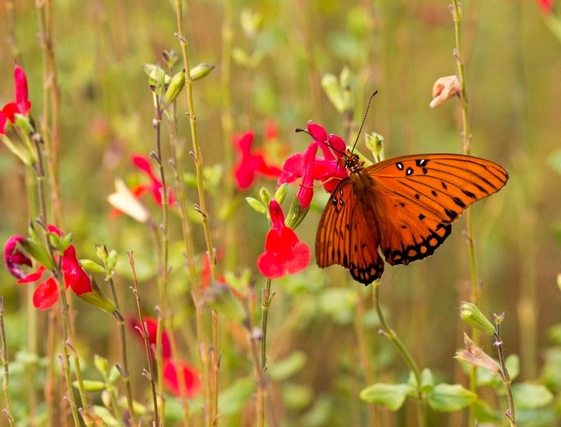 Fritillary_Butterfly_DSC_5903
