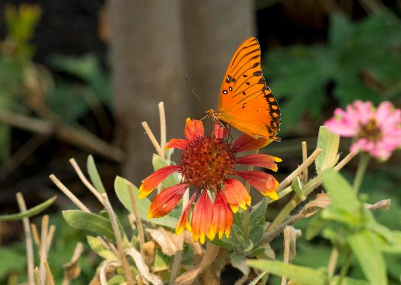 Fritillary_Butterfly_DSC_5972