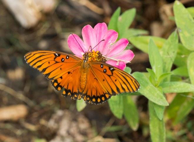 Fritillary_Butterfly_DSC_5975