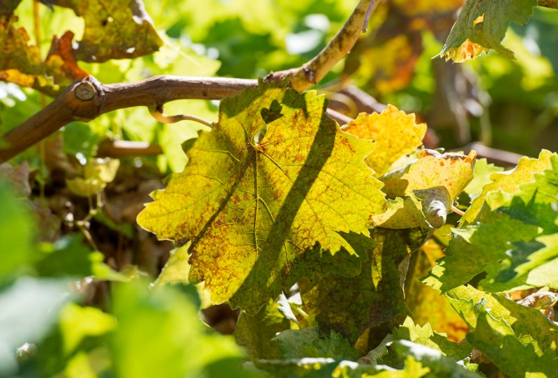 Grapes_Sept_DSC_5449