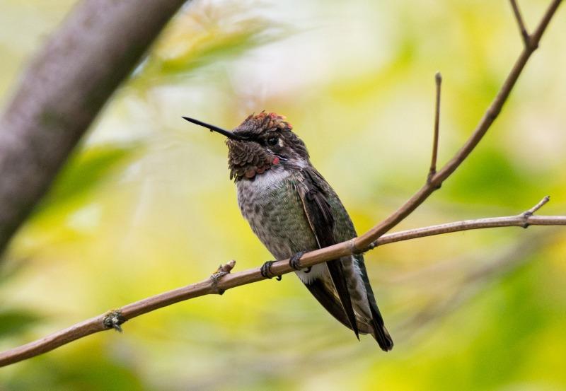 Hummingbird_DSC_6016