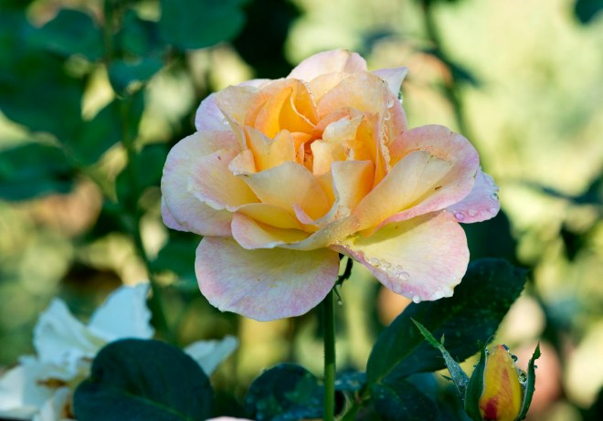 Rose_DSC_6232