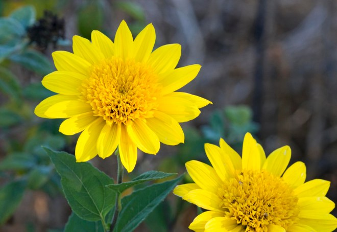Sunflowers_DSC_6228
