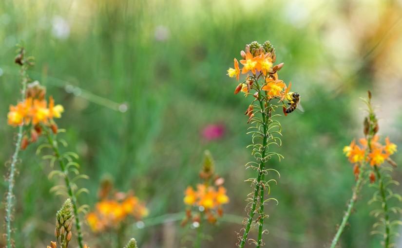 Bulbine Bee