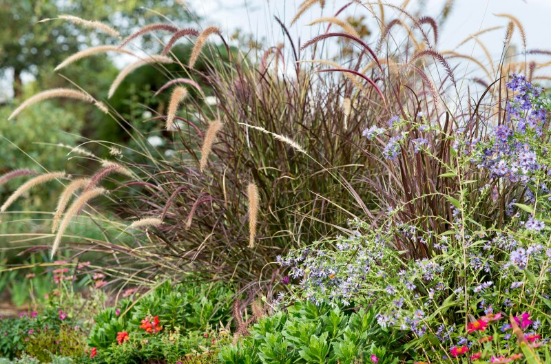 Fountain Grass_DSC_7440