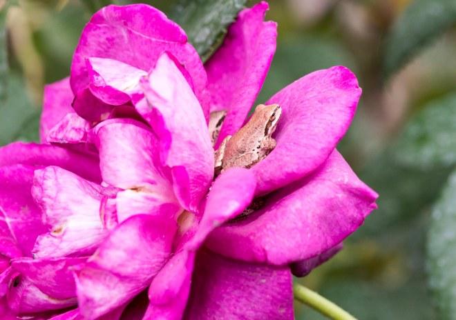 Frogs_DSC_7076