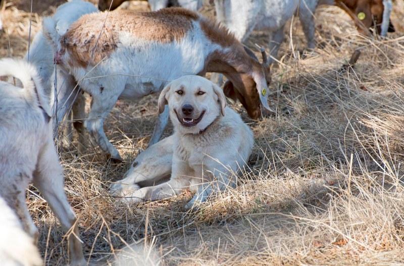 Goat_Dog_DSC_2336