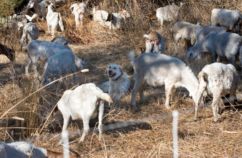 Goat_Dog_DSC_2342