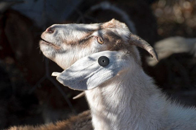 Goat_DSC_2367