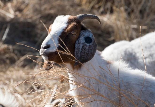 Goat_DSC_2379