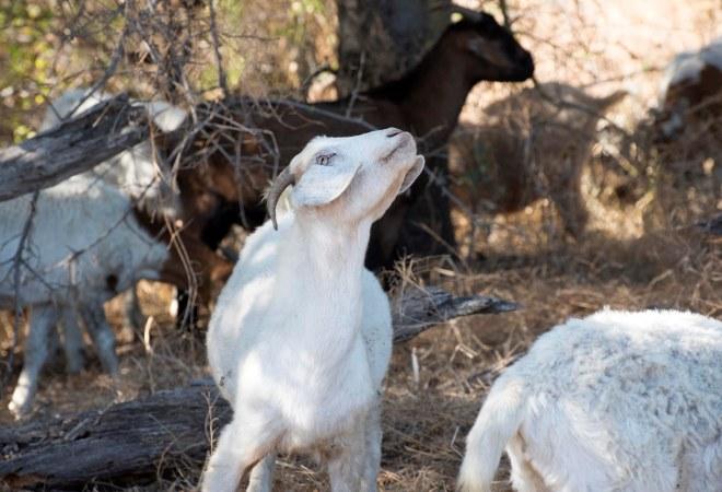 Goat_DSC_2391
