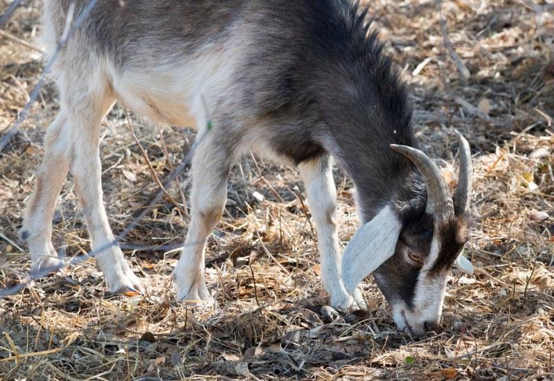 Goat_DSC_7338