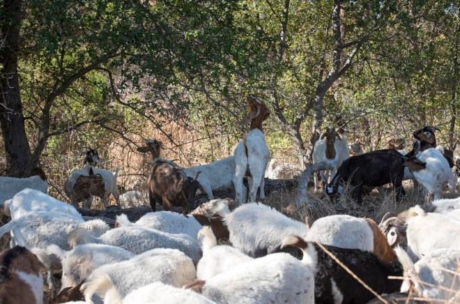 Goats_DSC_2402