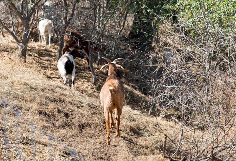 Goats_DSC_7352