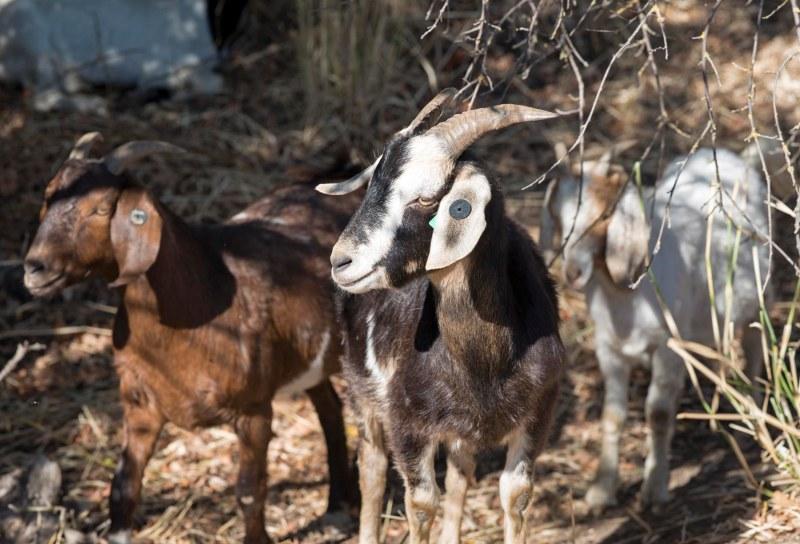 Goats_DSC_7358