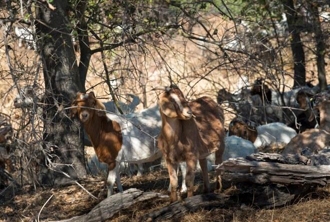 Goats_DSC_7370