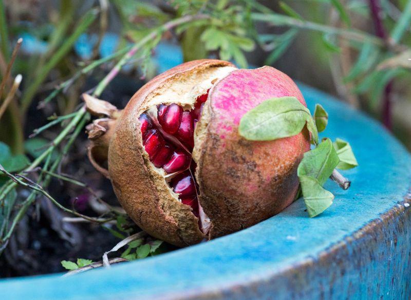 Pomegranate_DSC_6812