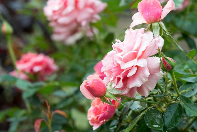 Roses_DSC_7425