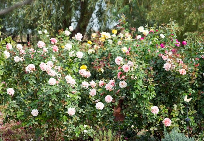 Roses_DSC_7438