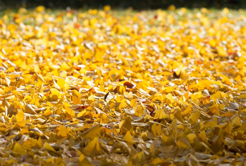 Ginko-Leaves_DSC_8976