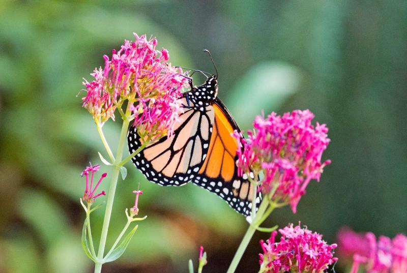 Monarch_ZM_DSC_4099