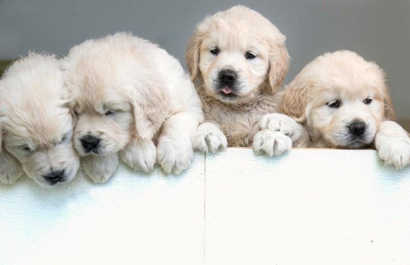 Puppies_6Wks_DSC_8450