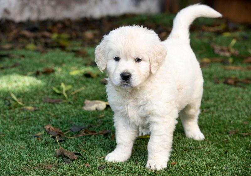 Puppies_6Wks_DSC_8481