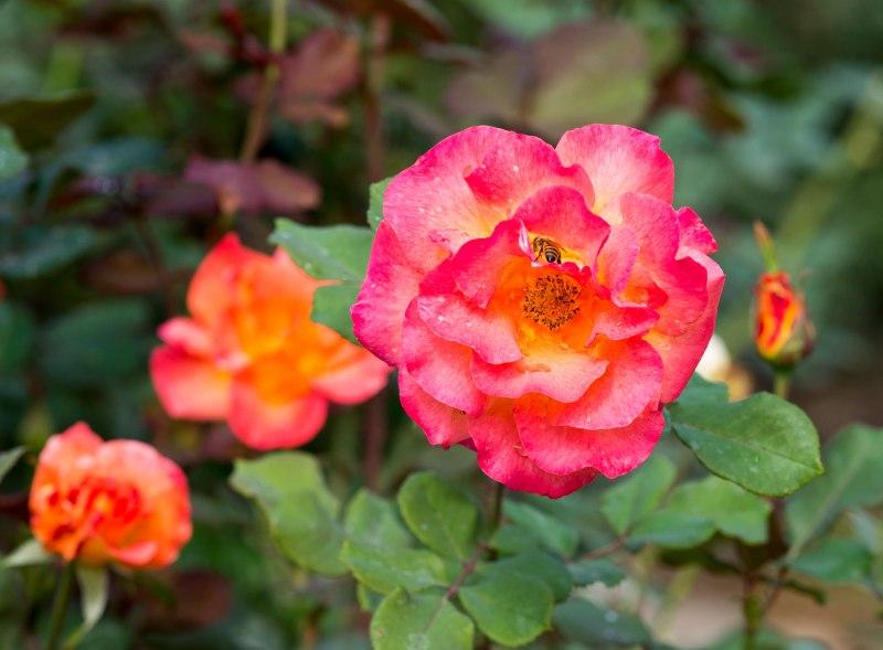 Roses_DSC_7781