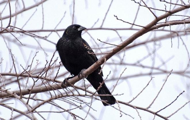 Black Bird_DSC_3091