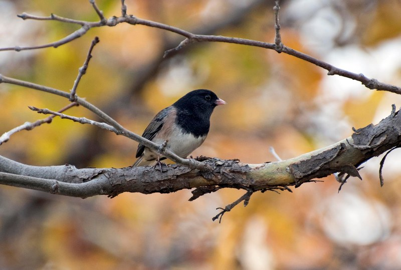 Dark Eyed Junco_DSC_2791