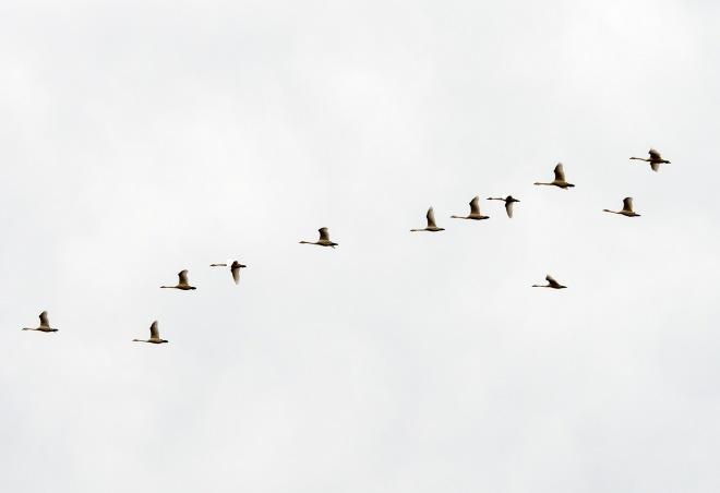 Geese_DSC_9346