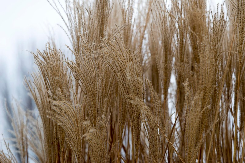 Grasses_Winter_DSC_0151